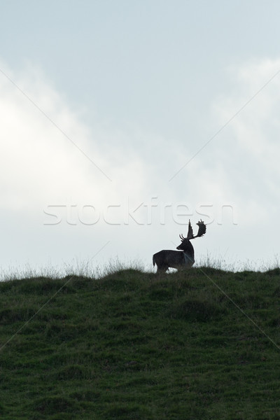 Fallow deer buck silhouetted on a hilltop Stock photo © RTimages