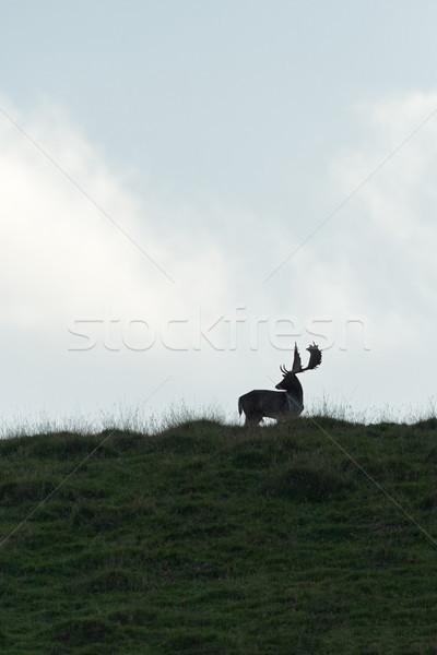 Szarvas dolcsi férfi fű sziluett állat Stock fotó © RTimages