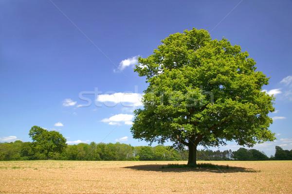 Eski meşe meşe ağacı alan bulutlar Stok fotoğraf © RTimages