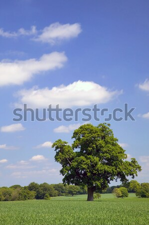 Oak tree in a field Stock photo © RTimages