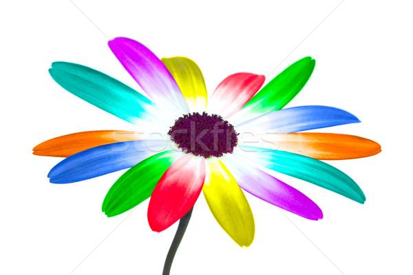 Rainbow daisy Stock photo © RTimages