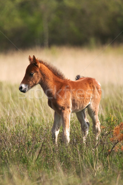 Wild Colt Stock photo © RTimages