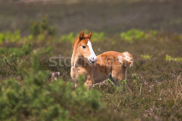 Vad csikó ló áll természet fiatal Stock fotó © RTimages