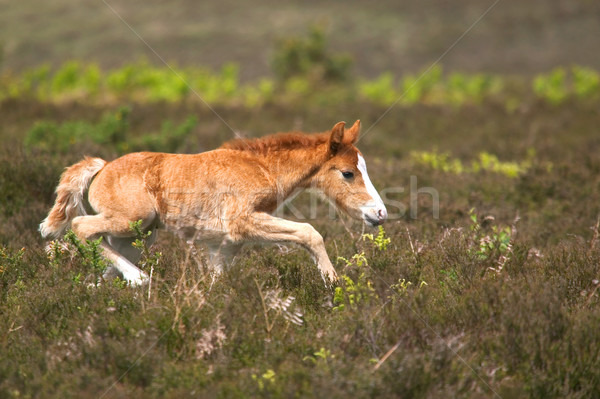 Colt on the run Stock photo © RTimages