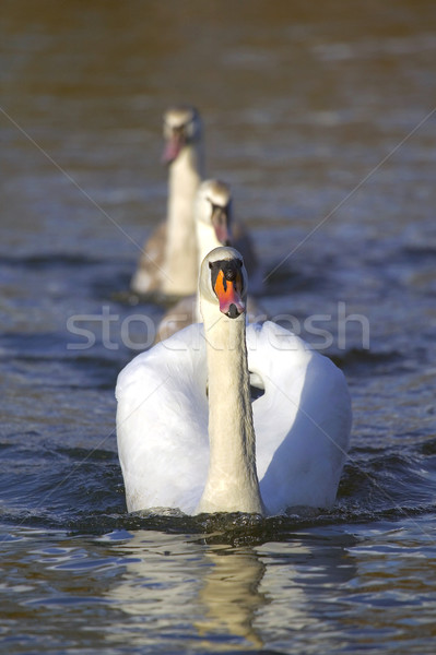 Swan with cygnets Stock photo © RTimages