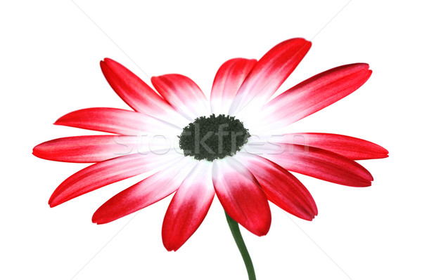 Rouge Daisy hybride isolé blanche printemps Photo stock © RTimages