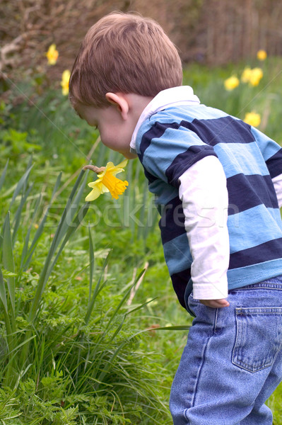 A Young boy smelling a daffodil Stock photo © RTimages