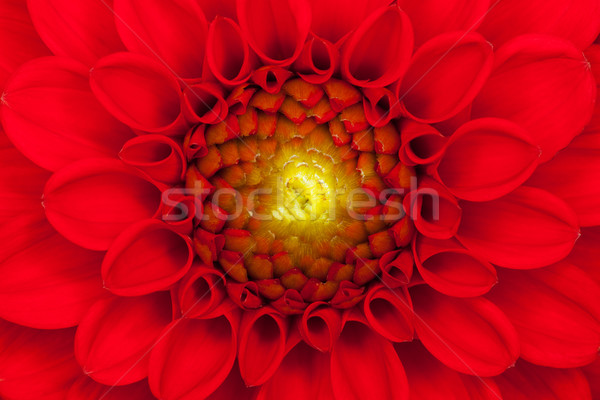 Red Dahlia flower close up Stock photo © RTimages