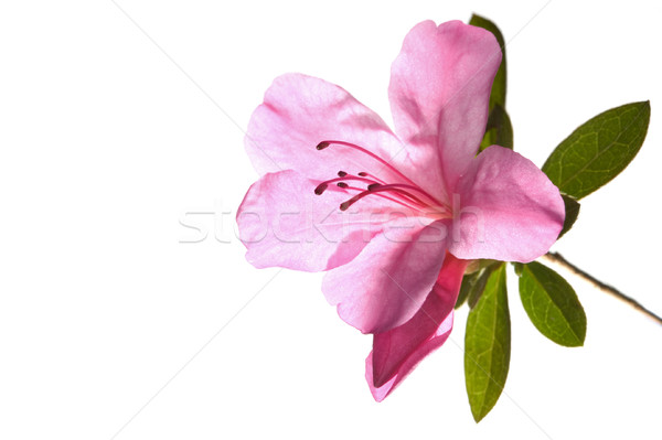 Azalea roze achter geïsoleerd witte bloem Stockfoto © RTimages