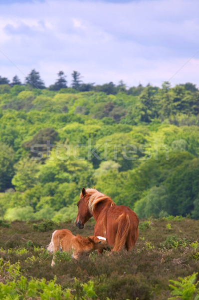 Wild Horse Mare and foal Stock photo © RTimages