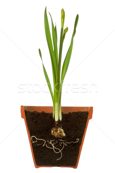 Spring bulb cross section Stock photo © RTimages