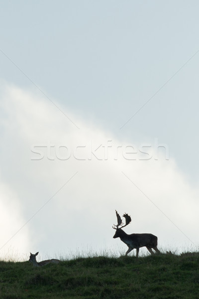 Male and female Fallow deer silhouetted on a hilltop. Stock photo © RTimages