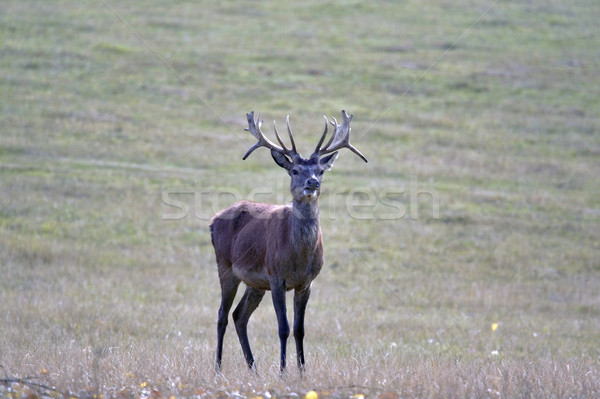 Single stag Stock photo © RTimages