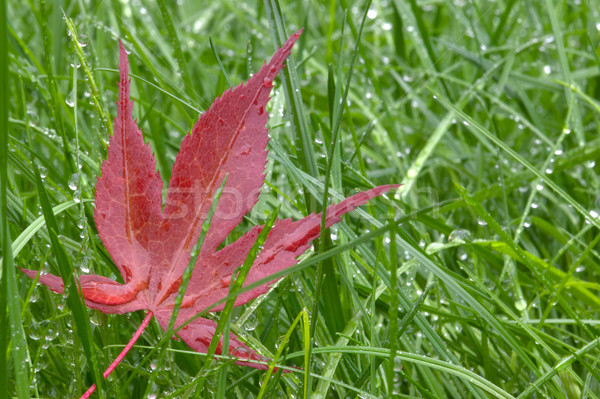 Red leaf and wet grass Stock photo © RTimages