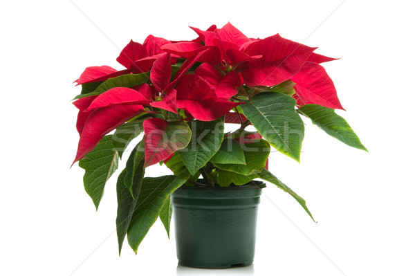 Poinsettia Stock photo © RTimages