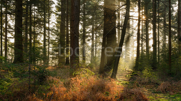 Bolderwood morning II Stock photo © RTimages