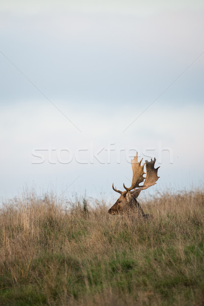 Fallow deer sitting on a grassy hillside. Stock photo © RTimages