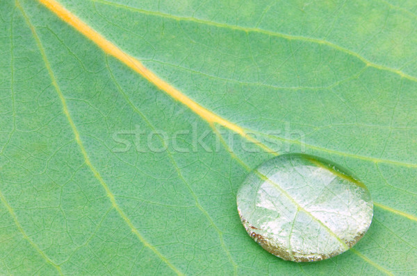 Droplet on Eucalyptus Stock photo © RTimages