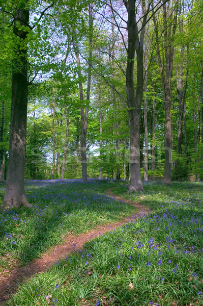 Path through Beech trees Stock photo © RTimages