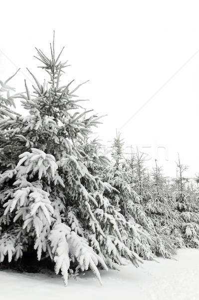 Snow trees Stock photo © RTimages