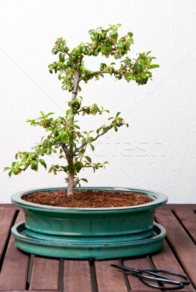 Ligustrum Bonsai Stock photo © ruigsantos