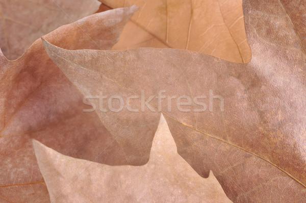 Autumn Leaves Stock photo © ruigsantos