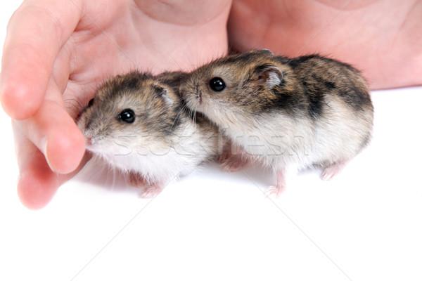 Dois criceto palma mão olhos jovem Foto stock © RuslanOmega