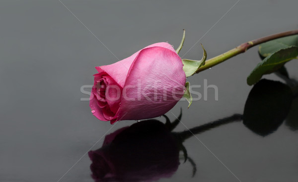 Rose with dewdrop on gray background Stock photo © RuslanOmega