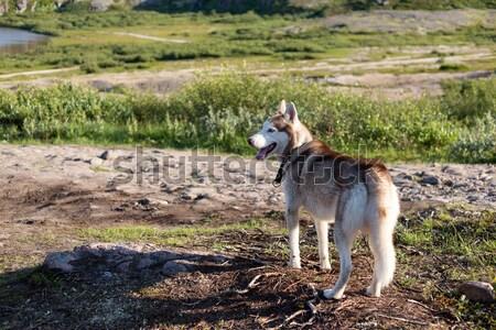 ハスキー 犬 見える 山 夏 ルックス ストックフォト © RuslanOmega