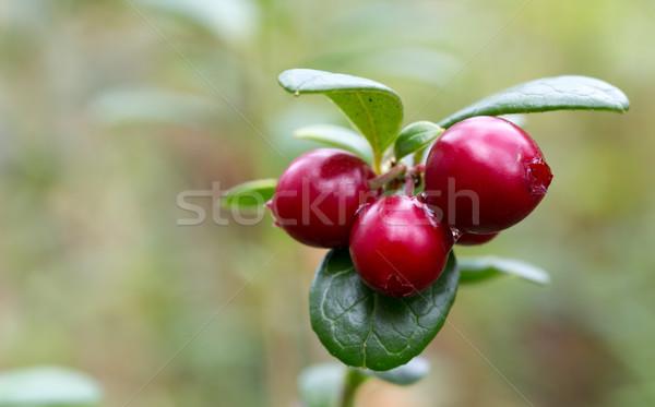 Frutti di bosco boschi verde stelo poco profondo Foto d'archivio © RuslanOmega