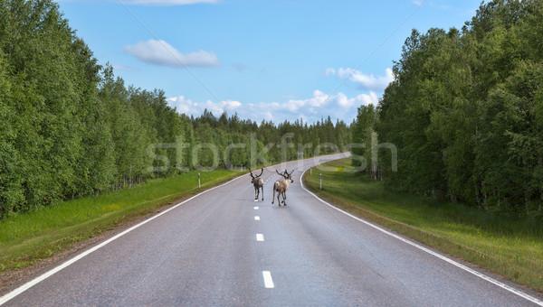 Dois veado correr estrada norte Finlândia Foto stock © RuslanOmega