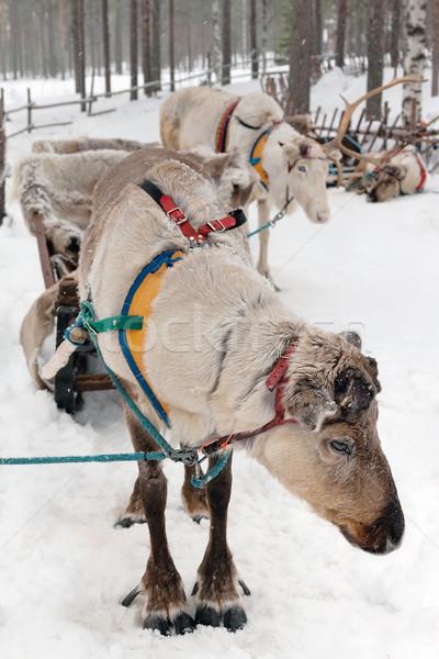 reindeers Stock photo © RuslanOmega