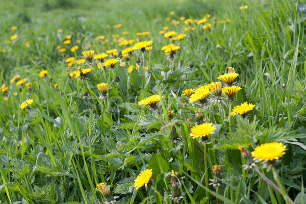 Green meadow, dandelion Stock photo © RuslanOmega