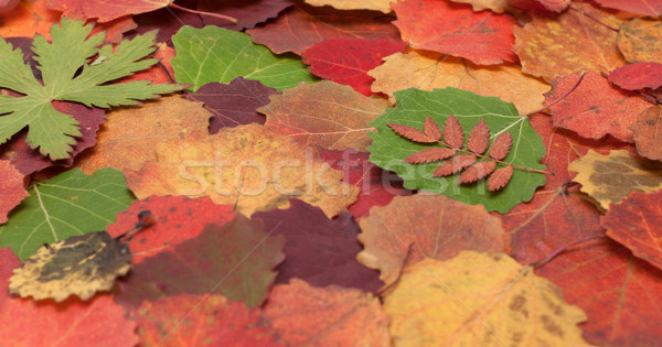 Autumn sheet background Stock photo © RuslanOmega