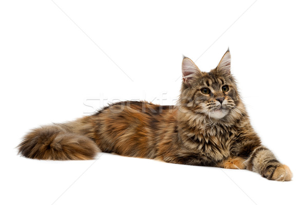 Cat breed Maine Coon is imperiously Stock photo © RuslanOmega