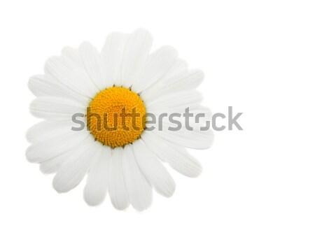 One head daisywheel Stock photo © RuslanOmega