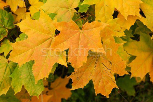 Geel vel esdoorn vallen weer textuur Stockfoto © RuslanOmega