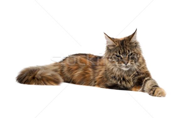 Maine kat triest ras oog achtergrond Stockfoto © RuslanOmega