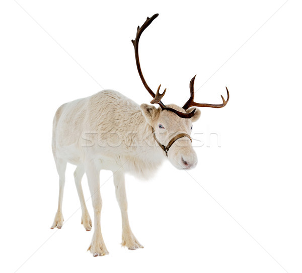 reindeer in front of a white background Stock photo © RuslanOmega