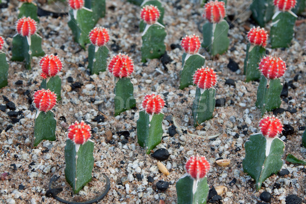 Cactuses with red head and needle Stock photo © RuslanOmega