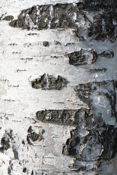 Stok fotoğraf: Huş · ağacı · cilt · ahşap · doku · ahşap · soyut