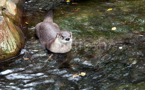 Otter in the water in a zoo in Prague Stock photo © RuslanOmega