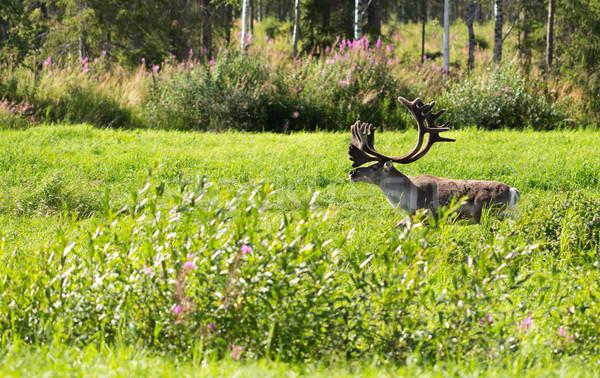Veado grama verde adulto floresta natureza Foto stock © RuslanOmega