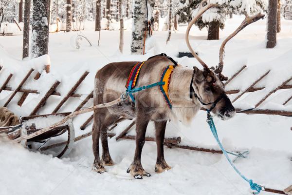 reindeer and sleigh Stock photo © RuslanOmega