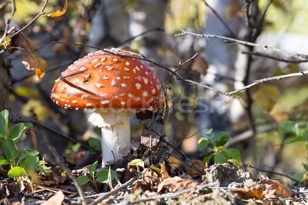 Rood champignon vergiftige paddestoel bos giftig vliegen Stockfoto © RuslanOmega