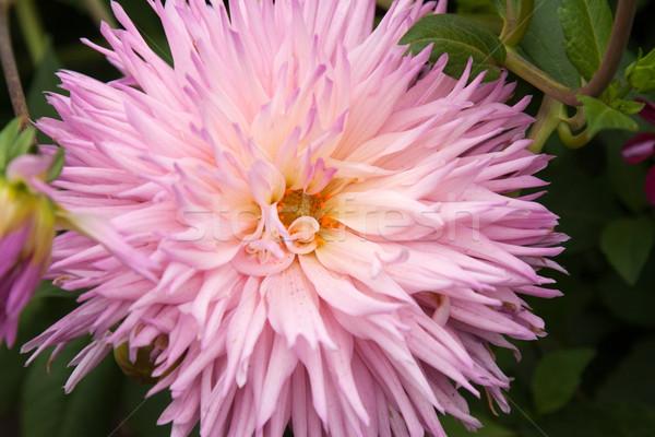 Violeta flor cabeça dália verde erva Foto stock © RuslanOmega