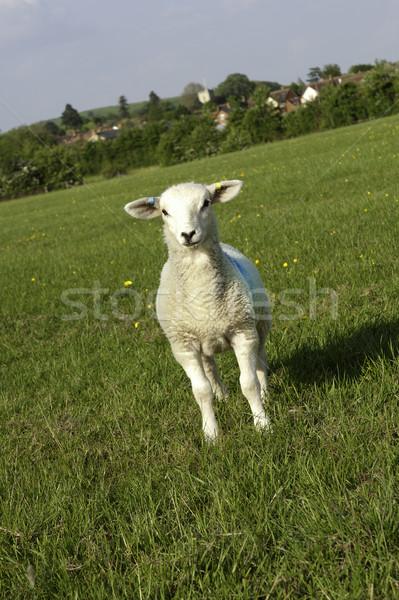 Lamb Stock photo © russwitherington