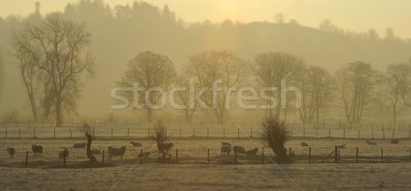 Névoa ovelha de manhã cedo grã-bretanha árvores campo Foto stock © russwitherington