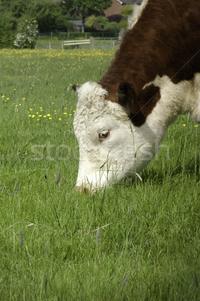 Vache tête herbeux domaine vert Photo stock © russwitherington