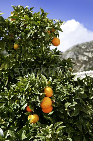 Narancsfa hegy narancsok mögött fa Stock fotó © russwitherington